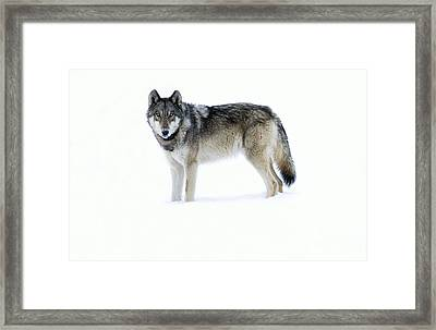 820f Of The Lamar Canyon Pack Framed Print