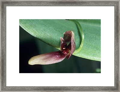 Orchid Flower Framed Print by Paul Harcourt Davies/science Photo Library