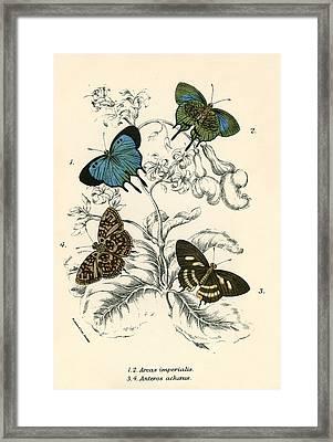 Butterflies Framed Print by English School