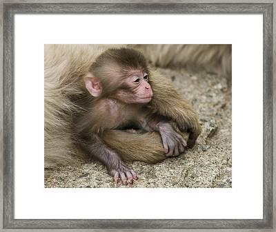 Baby Snow Monkey, Japan Framed Print