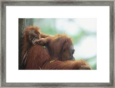 Bornean Orangutan Framed Print by Art Wolfe