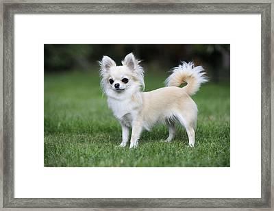 Chihuahua Dog Framed Print