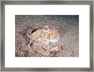 Common Octopus Framed Print by Andrew J. Martinez