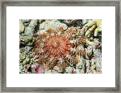Crown-of-thorns Starfish Framed Print