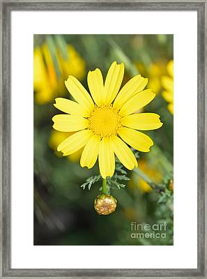 Daisy Framed Print by George Atsametakis