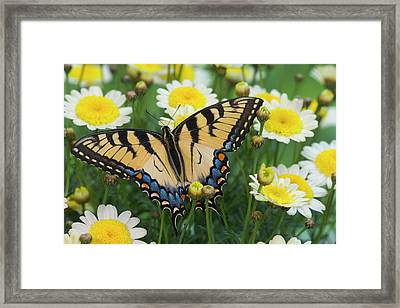 Eastern Tiger Swallowtail Papilio Framed Print by Darrell Gulin