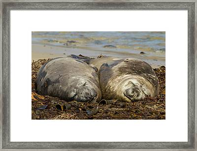 Falkland Islands, Carcass Island Framed Print