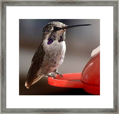 Framed Print featuring the photograph Female Anna's Sitting On Perch by Jay Milo