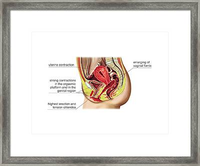 Female Sexual Response Framed Print by Asklepios Medical Atlas
