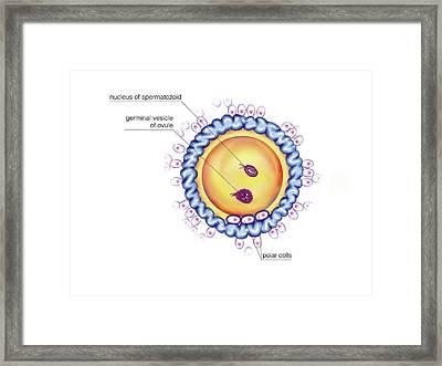 First Cellular Division Framed Print by Asklepios Medical Atlas