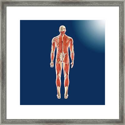 Human Musculature Framed Print by Springer Medizin