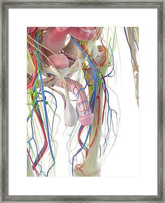 Human Penis Framed Print