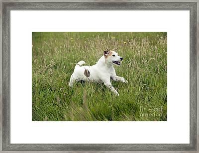 Jack Russell Terrier Framed Print by John Daniels