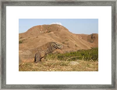 Komodo Dragon Framed Print