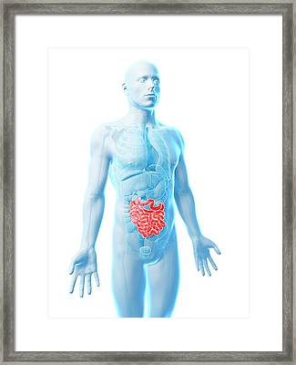Male Intestine Framed Print by Sebastian Kaulitzki