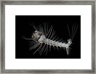 Mosquito Larva Framed Print by Frank Fox