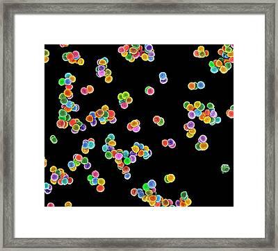 Mrsa Bacteria Framed Print