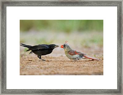 Northern Cardinal (cardinalis Cardinalis Framed Print by Larry Ditto