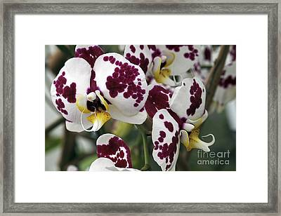 Orchid Flowers Framed Print by Dirk Wiersma