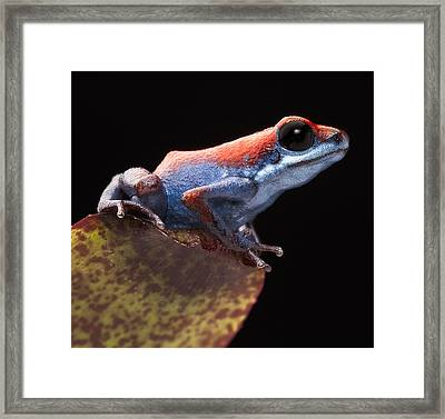 Poison Dart Frog Framed Print by Dirk Ercken