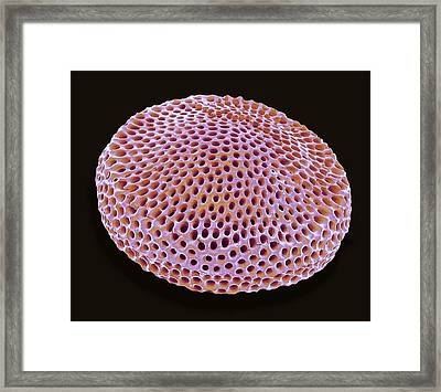 Radiolarian Framed Print by Steve Gschmeissner