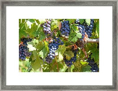 Red Grapes On The Vine Framed Print