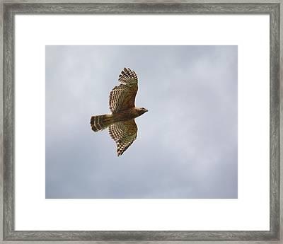 Red Shouldered Hawk In Flight Framed Print by Jai Johnson