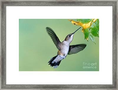 Ruby Throated Hummingbird Framed Print by Millard H. Sharp