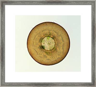 Shelled Amoeba Framed Print