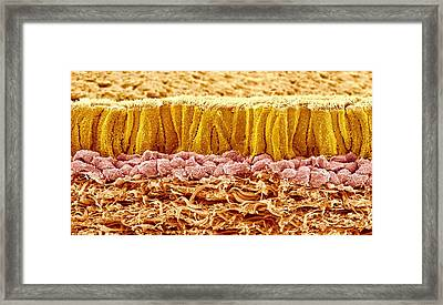 Trachea Lining, Sem Framed Print