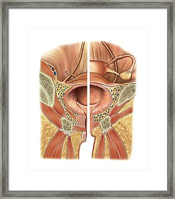 Urinary Bladder And Urethra Framed Print by Asklepios Medical Atlas