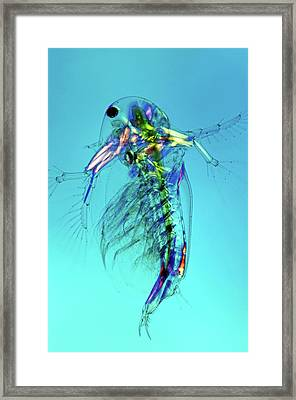 Water Flea Framed Print by Marek Mis