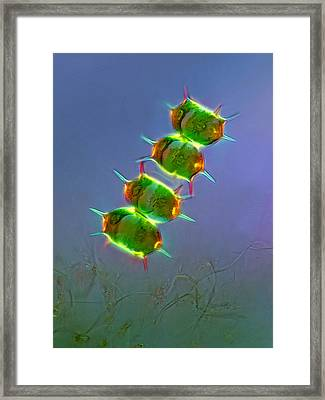 Xanthidium Antilopaeum, Lm Framed Print by Marek Mis
