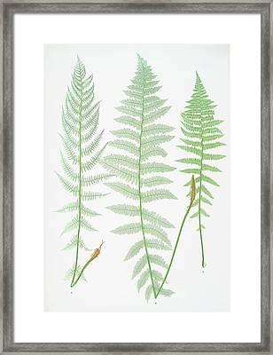 A. Athyrium Filix-foemina Rhæticum. B Framed Print