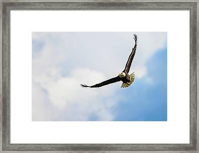 A Bald Eagle  Haliaeetus Leucocephalus Framed Print by Bill Collins