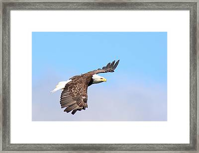 A Bald Eagle, Haliaeetus Leucocephalus Framed Print by Darlyne A. Murawski