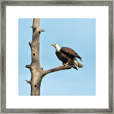 A Bald Eagle Prepares To Leap Framed Print by Sheila Haddad