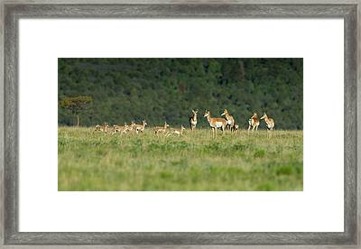 A Band Of Pronghorn Antelope Framed Print