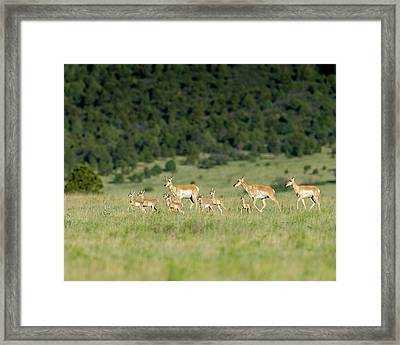 A Band Pronghorn Antelope Framed Print