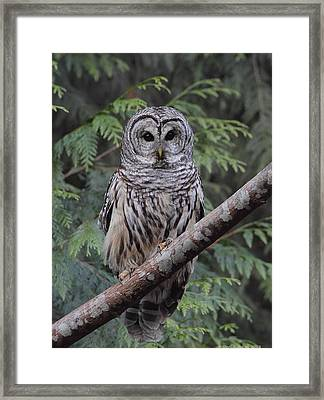 A Barred Owl Framed Print by Daniel Behm