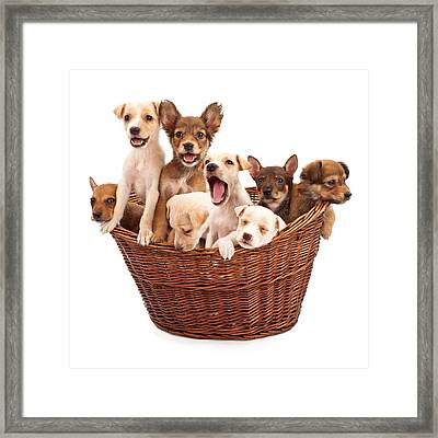 A Basket Of Puppies  Framed Print