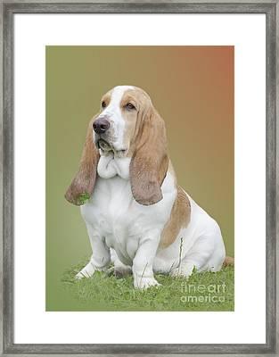 A Basset Hound Portrait Framed Print
