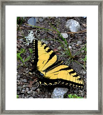 A Beautiful Swallowtail Butterfly Framed Print by Eva Thomas