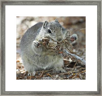 A Belding's Ground Squirrel Gathers Framed Print by William Sutton