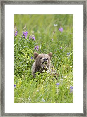 A Big Bite For A Little Cub Framed Print
