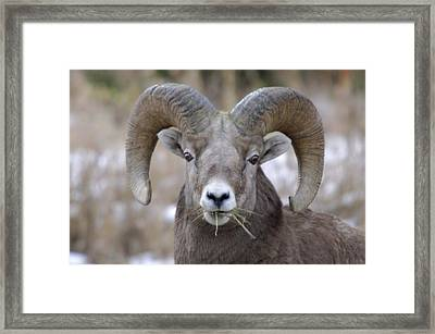 A Big Ram Caught With His Mouth Full Framed Print by Jeff Swan