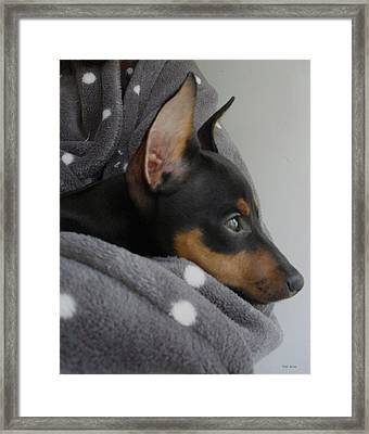 Miniature Pinscher  Framed Print