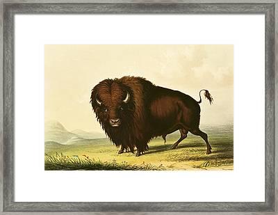 A Bison Framed Print by George Catlin