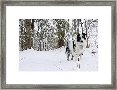 A Black And White Australian Shepherd Framed Print by Al Petteway & Amy White