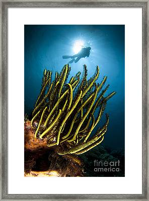 A Black And Yellow Crinoid With Diver Framed Print by Steve Jones